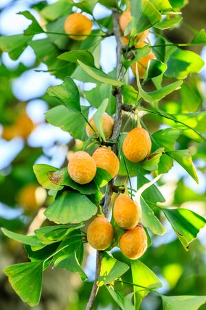 Chestnut fruit growing on the tree