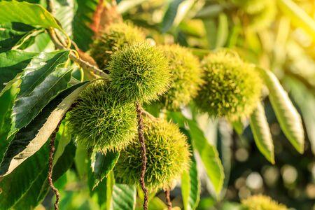 Chinese chestnut fruit grow on tree