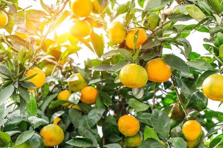 Orangenbaum in Orangenfarm. Standard-Bild