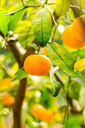 Arancia matura appesa a un albero