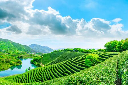 Green tea mountain on a sunny day, tea plantation natural background.