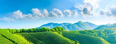 Green tea mountain on a sunny day,tea plantation natural background. Stock Photo