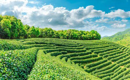 Grüner Teeberg an einem sonnigen Tag, natürlicher Hintergrund der Teeplantage.