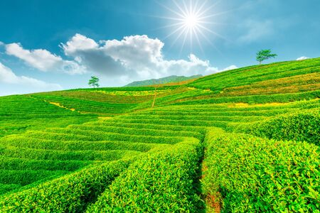 Tea plantation on sunny day, green nature landscape. Stock Photo