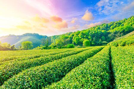 Green tea plantation at sunset, nature background.