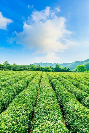 Tea plantation on sunny day, green nature landscape.