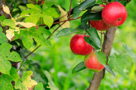 Red apples on the tree.fresh fruits in apple plantation.