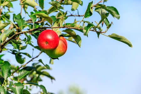 Ripe apples on the tree.fresh fruits in apple plantation.
