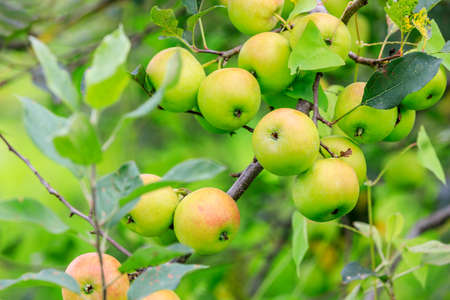 Green apples on the tree.fresh fruits in apple plantation.