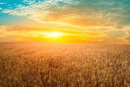 Ripe wheat in farmland field at sunset.