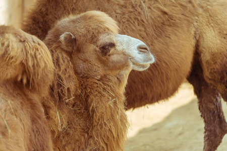 The side face of a camel in the zoo