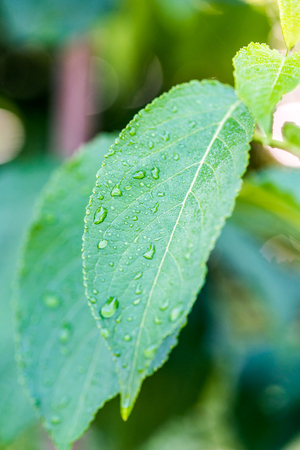 A close-up of dewy leaves in the morning