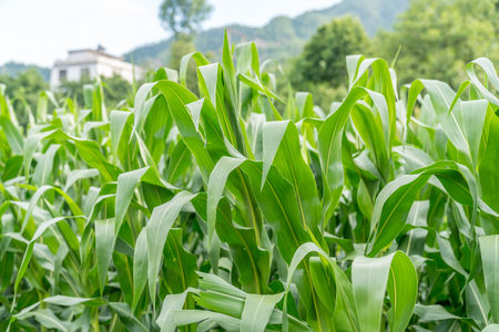 A field of corn growing in suburban fields