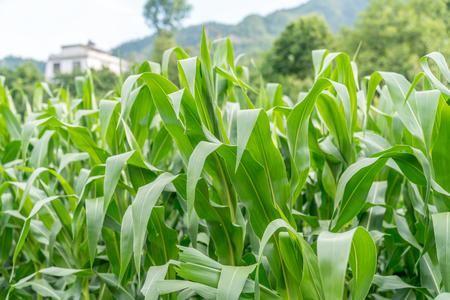 Ein Maisfeld, das in Vorstadtfeldern wächst