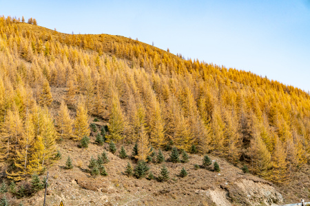 In autumn, the mountains and golden leaves under the blue sky Stok Fotoğraf