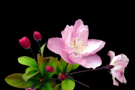 begonia: flor de Begonia