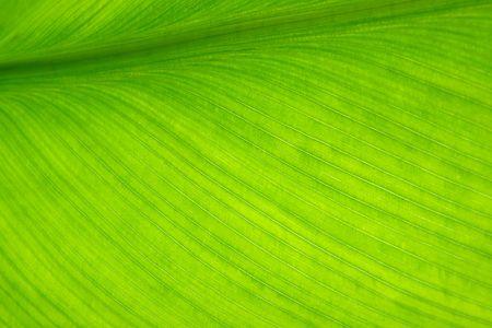 Green banana leaf Stock Photo - 6064506