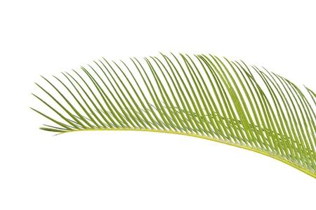 cycas: sago cycas leaf
