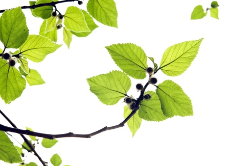 leafage:  Red bayberry tree foliage Stock Photo