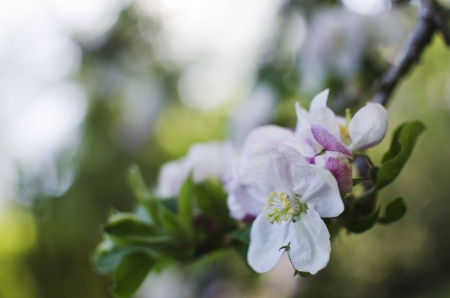 Cherry blossom on unfocused background , spring scene photo