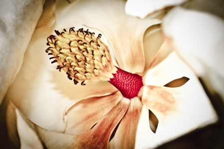 detail of the stamens in the magnolia flower photo