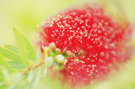 callistemon: closeup of bottlebrush  callistemon  flower  Stock Photo