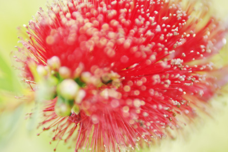callistemon citrinus: closeup of bottlebrush (callistemon) flower. Stock Photo