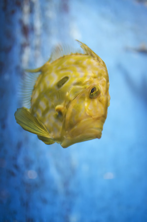 yellow tang: Bright yellow tropical fish against blue background