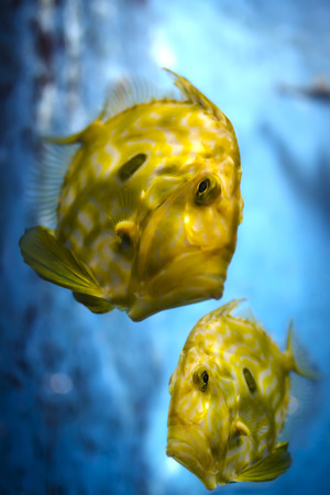 Bright yellow tropical fish against blue background photo
