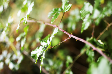 thorn tip: Bramble shrub leaves against forest Stock Photo