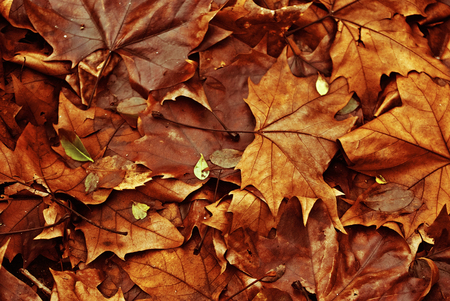 red maple leaf: Fall leaves background