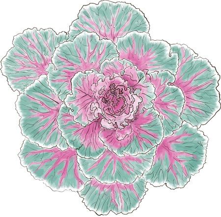 kale: scotch kale Illustration