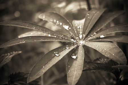 lupin: Lupin leaf with glistening raindrops. black and white photo.