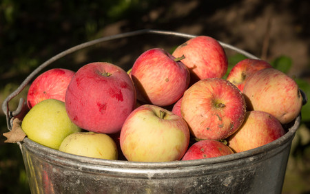 unwashed: unwashed natural eco apples in the pail, farmer fruit