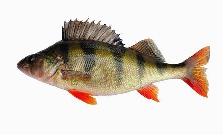 River perch Stock Photo - 8046495