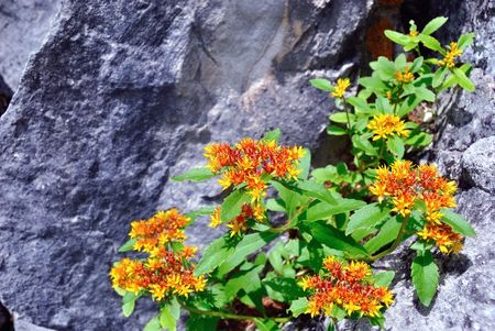 Aizoon Stonecrop - a perennial herb of traditional medicine in Siberia, China and Tibet