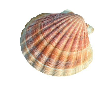 petoncle: A scallop is a marine bivalve mollusc of the family Pectinidae. Scallops are a cosmopolitan family, found in all of the worlds oceans. Many scallops are highly prized as a food source. The brightly colored, fan-shaped shells of some scallops, with their  Banque d'images