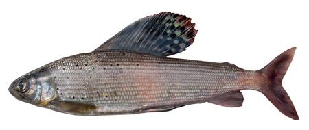 dorsal: Thymallus es un g�nero de peces de agua dulce en la familia de salm�n (familia salm�nidos). En la foto grayling de Siberia Oriental (Thymallus arcticus pallasi) - subespecies de la grayling �rtico (Thymallus arcticus)  Foto de archivo