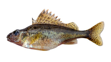 The Eurasian Ruffe (Gymnocephalus cernuus) or simply Ruffe is a freshwater fish found in temperate regions of Europe and northern Asia. In the photo the female before spawning  Stock Photo - 9497214