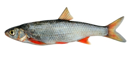 The common dace (Leuciscus leuciscus), also known as the dace or the Eurasian dace, is a fresh- or brackish-water fish belonging to the family Cyprinidae.In the photo - a male for a week before spawning  Stock Photo - 9497216