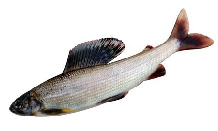 White Grayling. Thymallus is a genus of freshwater fish in the salmon family (family Salmonidae) of order Salmoniformes. Thymallus arcticus pallasi - East Siberian grayling