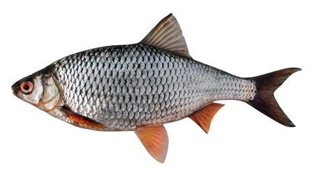 spawning: Roach siberiano (Rutilus rutilus lacustris). Gran cucaracha femenino antes de la temporada de desove. Aislados en fondo blanco
