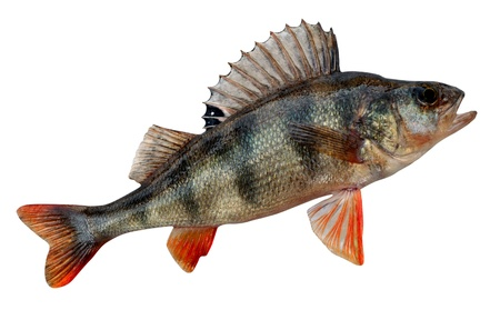 The European perch, Perca fluviatilis, is a predatory species of perch found in Europe and Asia. In some areas it is known as the redfin perch or English perch, and it is often known simply as perch. Stock Photo