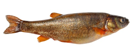 Phoxinus perenurus - small fish carp family lives in freshwater lakes Eurasia