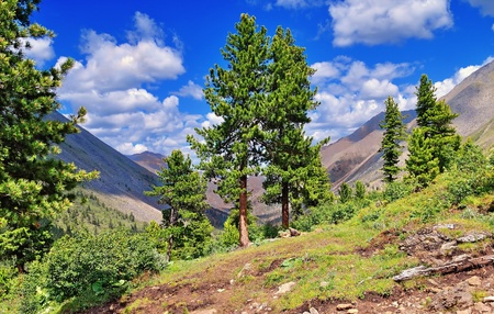 Siberian stone pine forest border in the mountainous taiga. Eastern Sayan