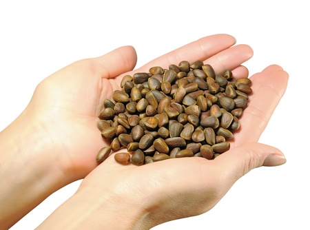 Siberian cedar pine seeds in the palms of the hands of women. Isolated on white background