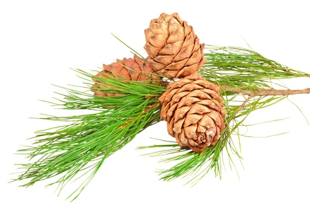 pine three: A branch with three cones of Siberian cedar pine. Isolated on white background