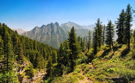 cedar tree: Mountain forest in Siberia. Eastern Sayan. Republic of Buryatia