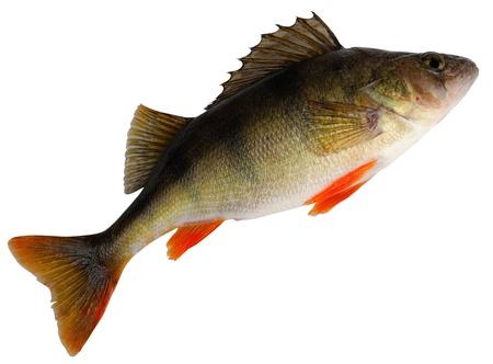 perca: European perch ( Perca fluviatilis ). Female before spawning. Isolated on white background