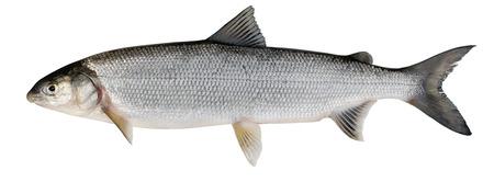 ichthyology: Whitefish ( Coregonus lavaretus ). Siberian subspecies. Adult female. Isolated on white